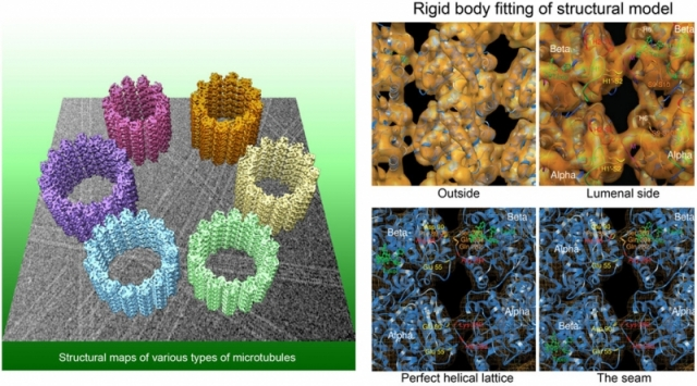 Structures of various types of microtubules