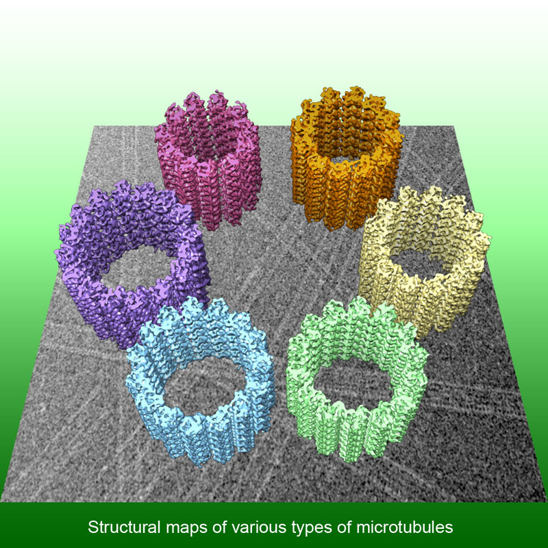 Density map reconstructed from cryo-electron micrographs of microtubule mixtures