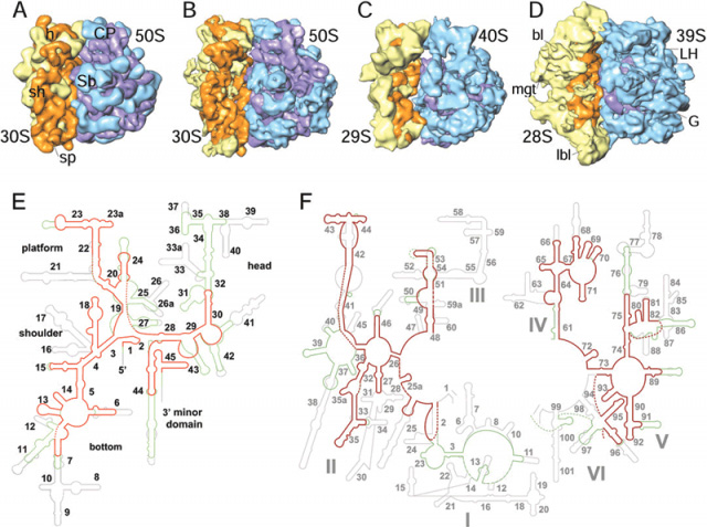 Comparison between the segmented cryo-EM maps of ribosomes
