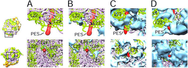 A side-by-side comparison of topographies of the nascent polypeptide-exit sites in 3D cryo-electron microscopic maps of the ribo