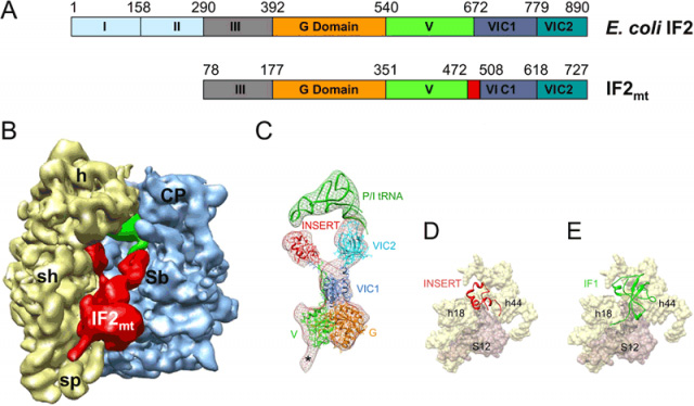 Structure of the mammalian mitochondrial translationa initiation factor 2 (IF2mt) as derived by single-particle cryo-EM