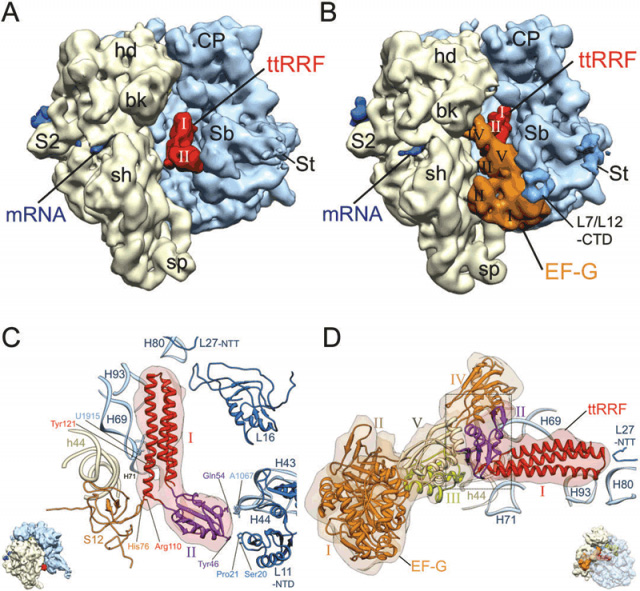 Segmented cryo-EM maps of the bacterial 70S ribosome post-termination complex (PoTC) in complex with ttRRF and in complex with t