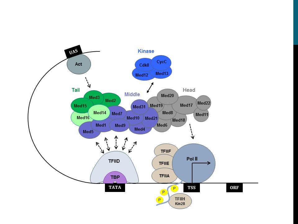 Dr. Morse Research Figure - the Mediator Complex