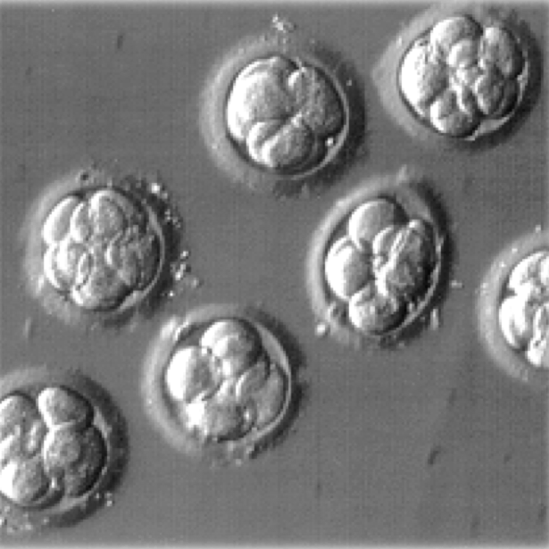 8-cell (embryonic day 2.5) mouse embryos