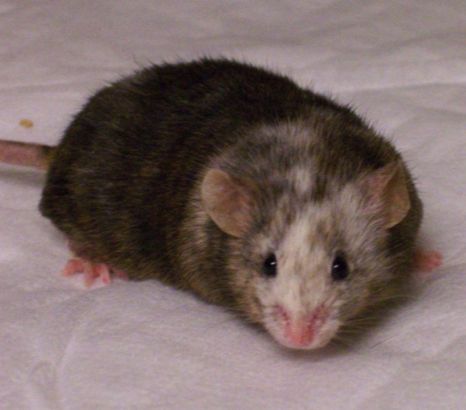 Chimeric knockout founder mouse