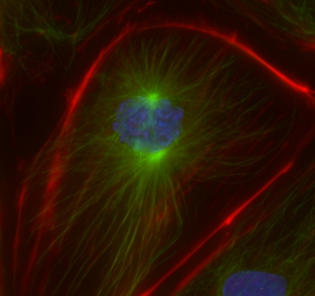 Maximum intensity projection in X/Y axis of a PtK cell stained for microtubules and DNA