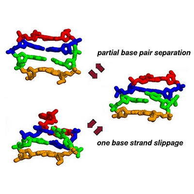 An atomic-detail mechanism for insertion-deletion errors by DNA polymerases (Banavali, JACS, 2013)