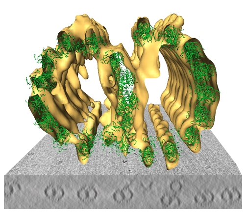 Microtubule doublets by combining cryo-electron tomography