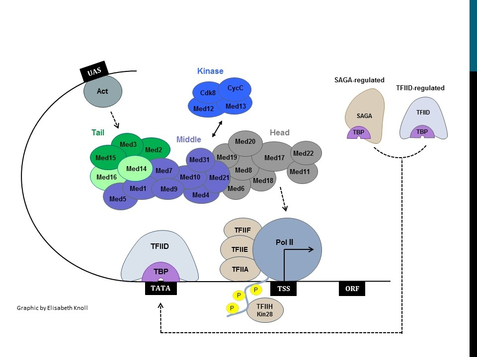 Eukaryotic Transcription Initiation and the Mediator Complex