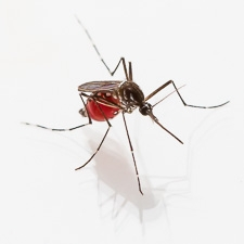 Mosquito after feeding.